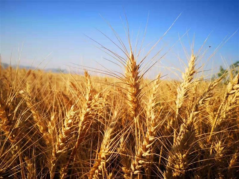 河套129万亩小麦开镰收割