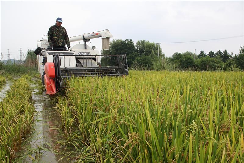 浙江诸暨北部湖畈农业综合区 科技种粮走上高产路