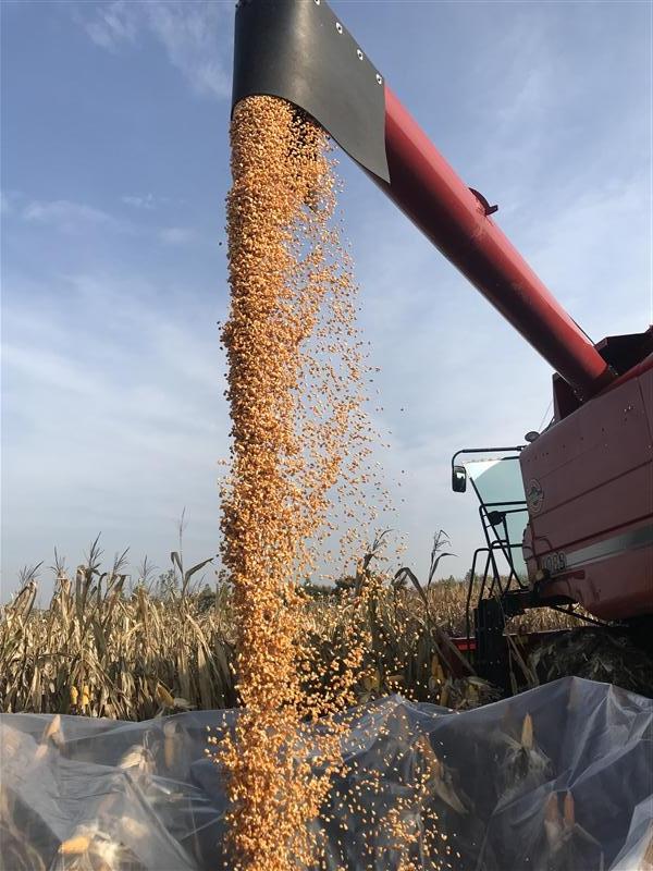 打通玉米籽粒机收最后一公里