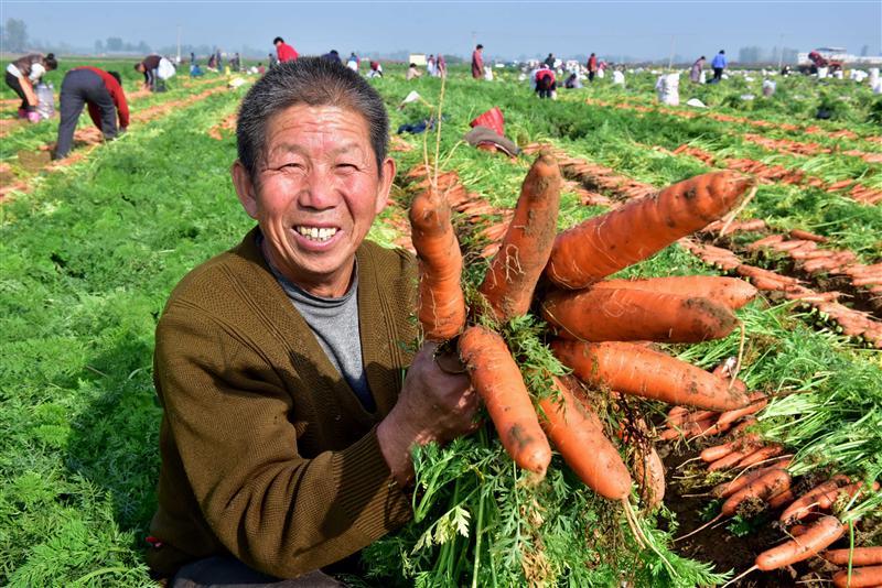 石家莊喜收胡蘿卜