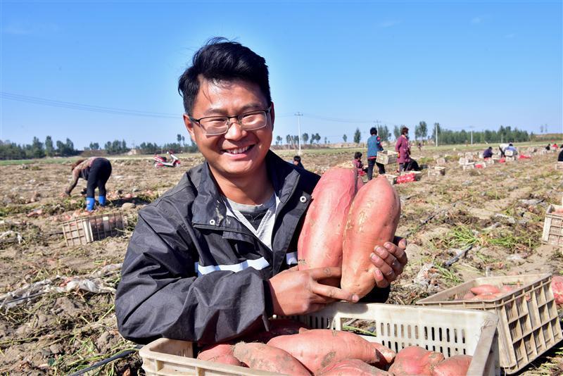 河北新樂:沙地紅薯成熟,農民搶抓農時忙收獲