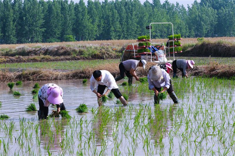 河南光山: 水稻田 插秧忙