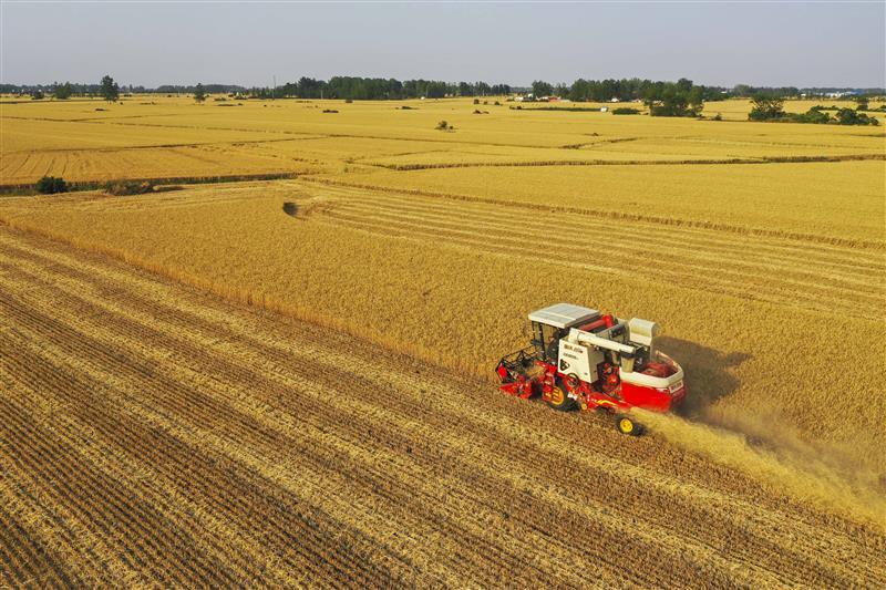 河南正阳:190万亩小麦开镰