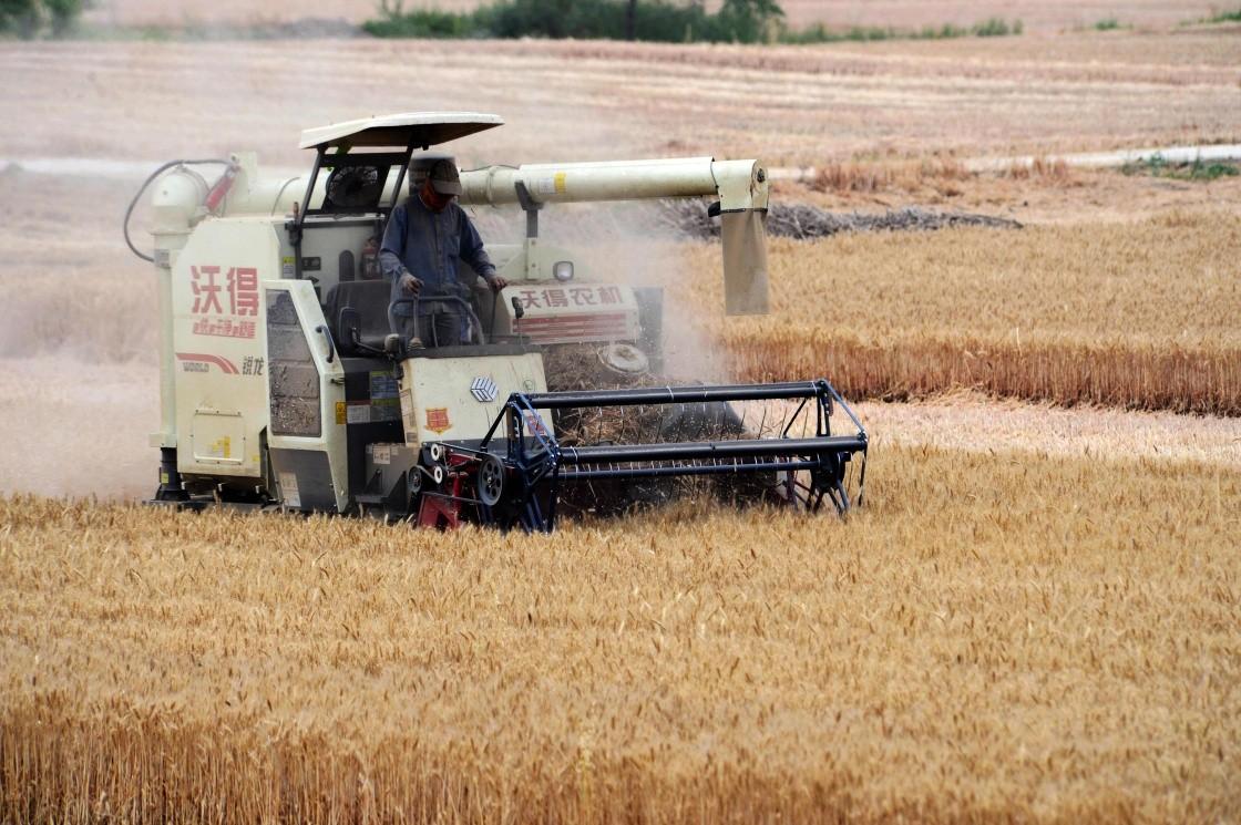 小麦开镰收割