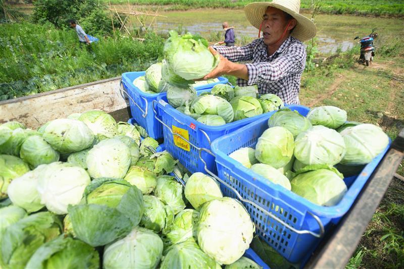 蔬菜產業助農脫貧增收