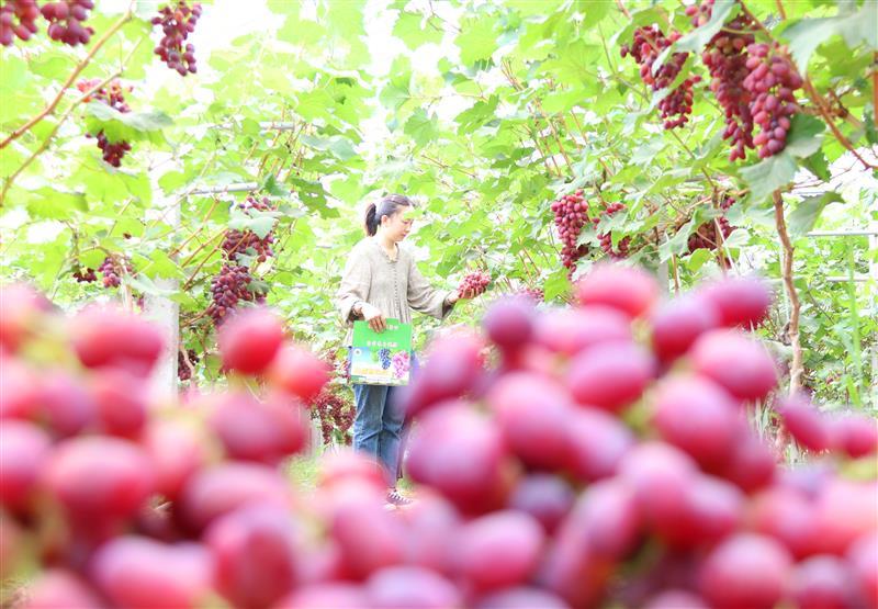 山東菏澤:葡萄采摘促脫貧