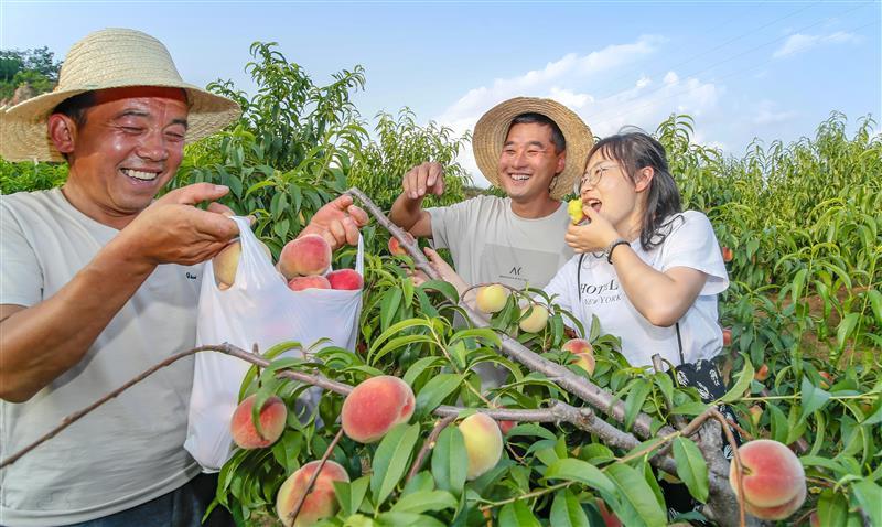河南卢氏县:水蜜桃带动群众增收