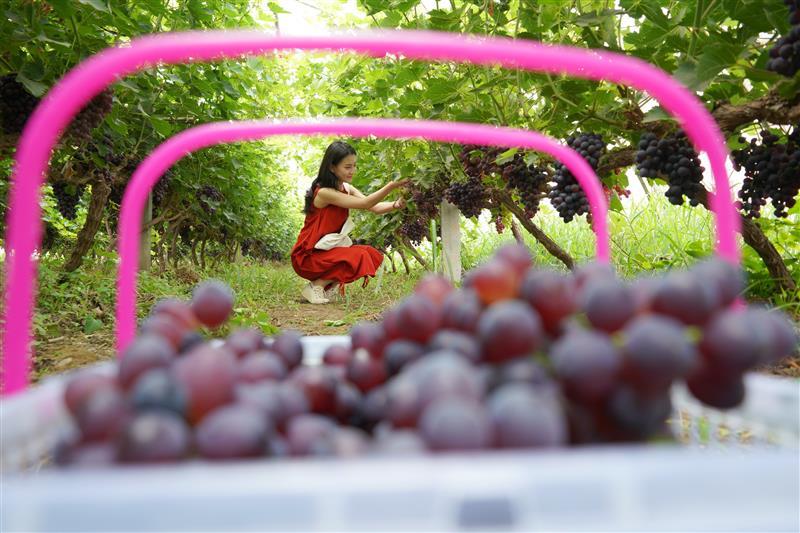 河北内丘:葡萄飘香富农家