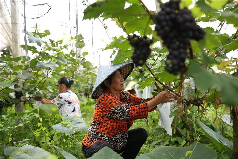 贵州丹寨:小葡萄带富贫困村