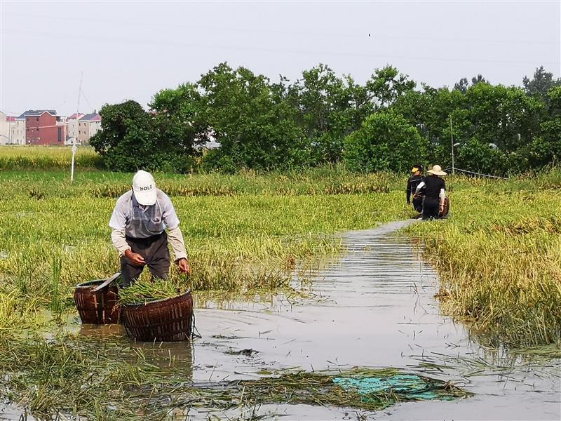 撈稻谷   降損失