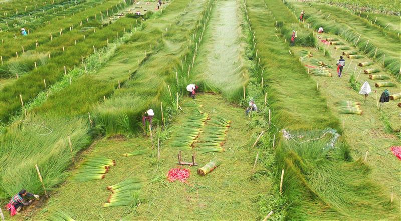 四川眉山:藺草豐收收割忙