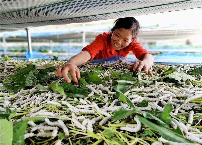 四川仁寿县:种桑养蚕助脱贫