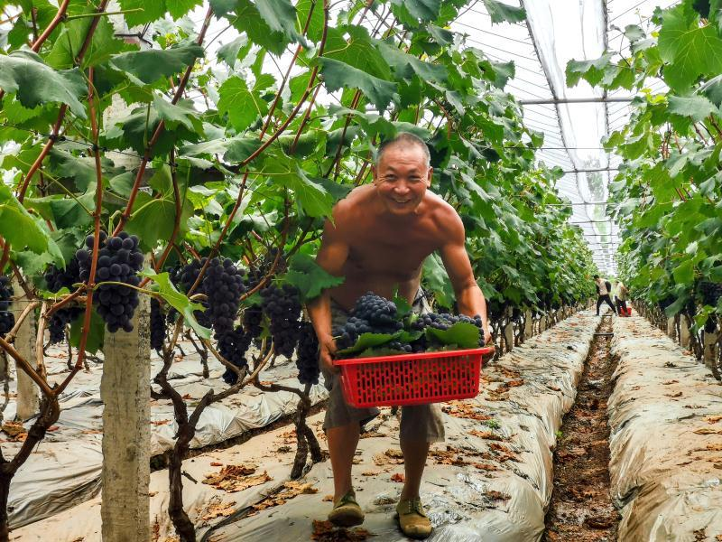 眉山市彭山区:万亩葡萄熟了