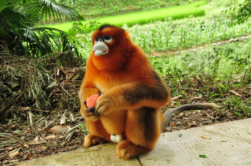 """陕西洋县:野生金丝猴""""做客""""农家"""