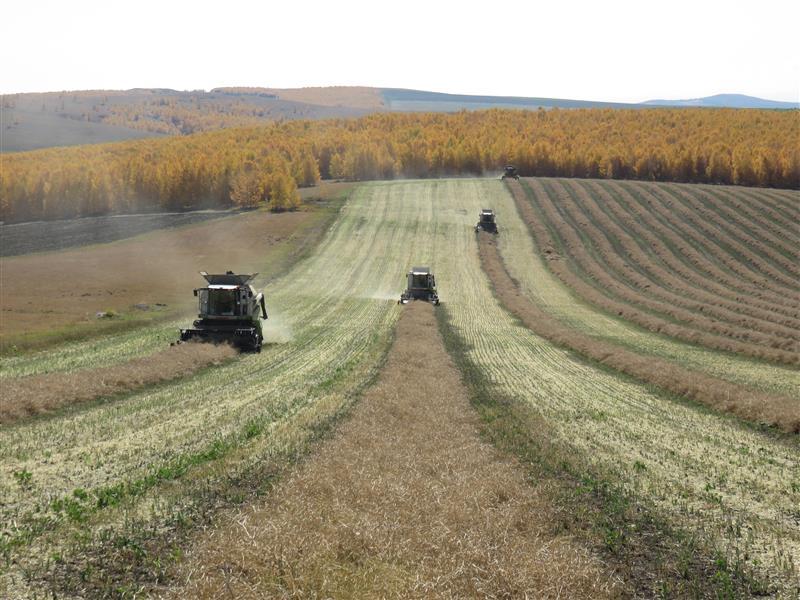 内蒙古呼伦贝尔农垦莫拐农场小麦开始收获