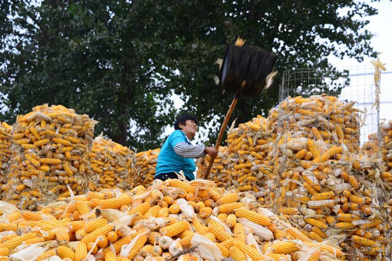 玉米丰收喜晒秋
