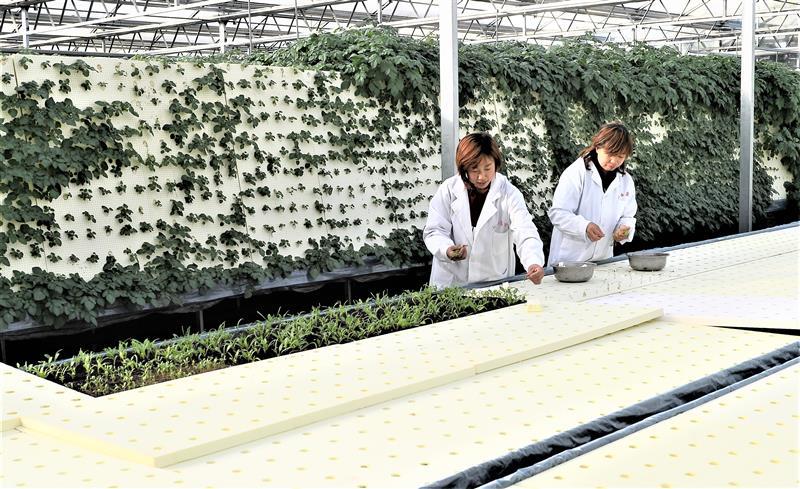 山西种植马铃薯带动4400余户农民脱贫