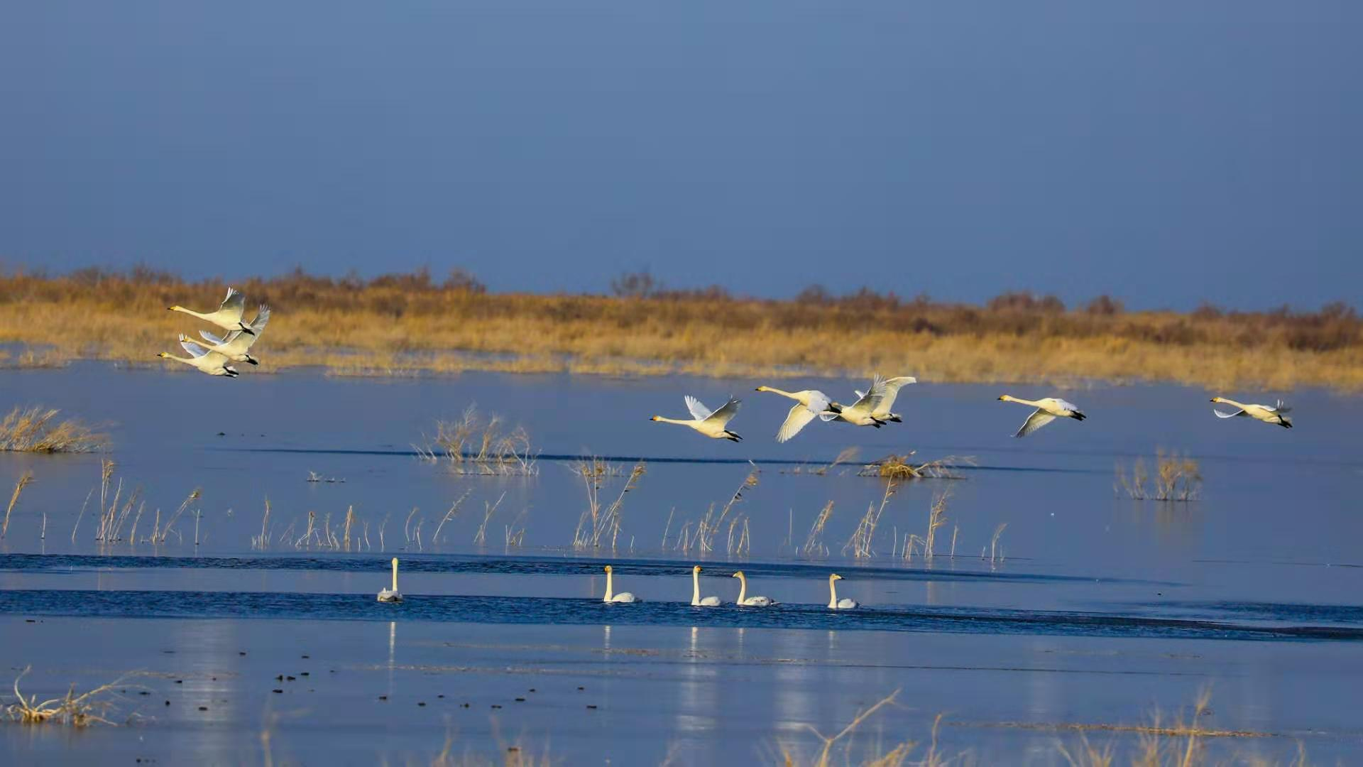 新疆博斯腾湖:芦苇摇曳天鹅舞