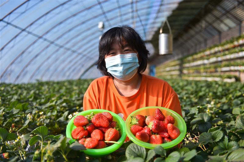 北京市昌平区兴寿镇乡都草莓种植园的生态草莓迎来销售旺季