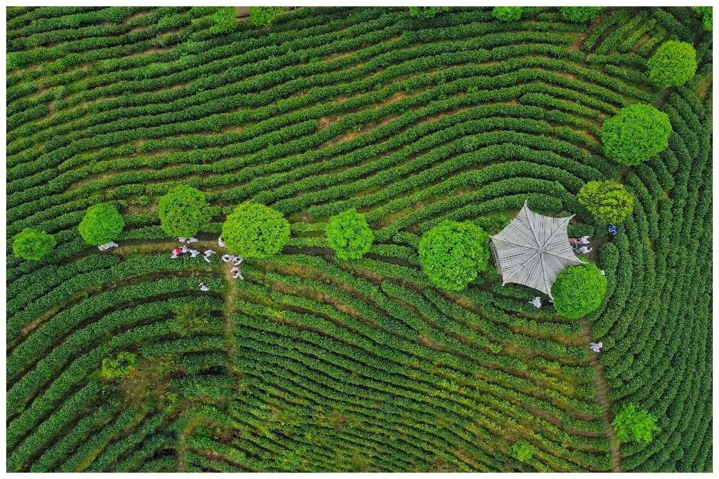 """2021""""国际茶日"""" 从品鉴第一杯春茶开始"""