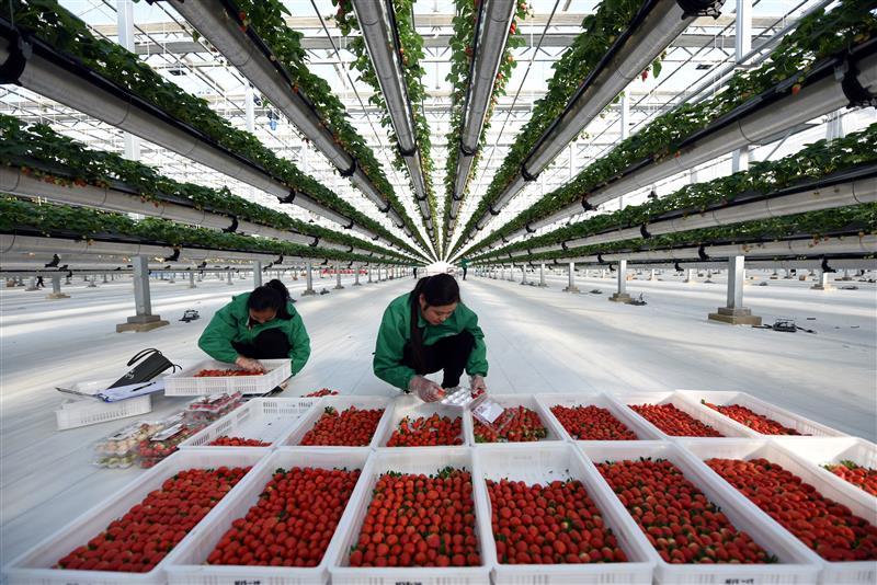 兰陵县智慧农业产业园内,工作人员正在采摘空中草莓