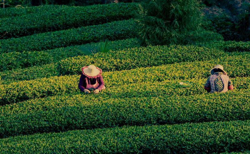 茶旅融合助推鄉村振興
