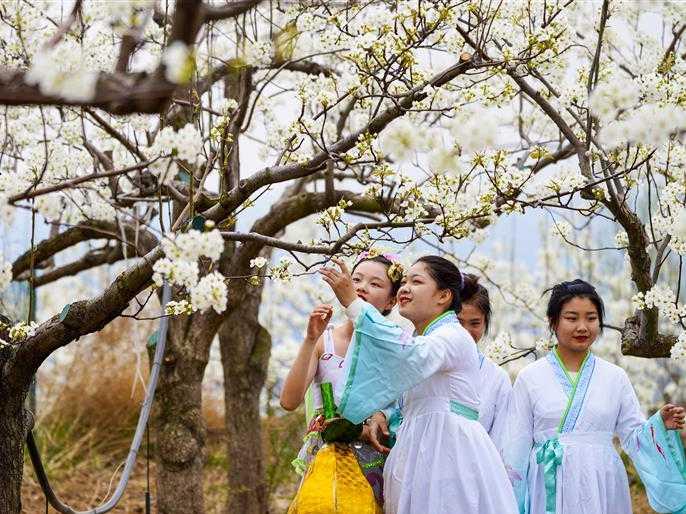 山西隰縣第十一屆玉露香梨花節開幕