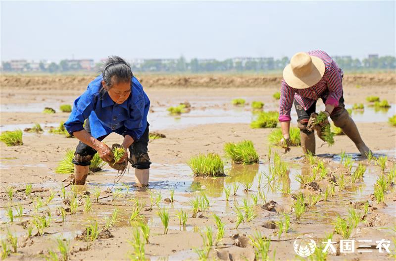 安徽省宿松县:科学种植再生稻