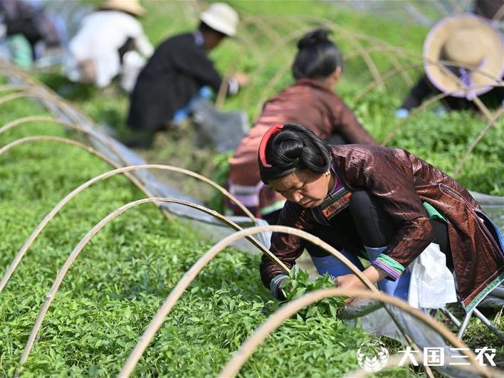 贵州从江:辣椒种植带动村民就业增收