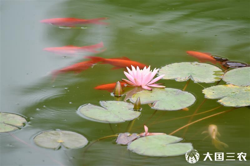 贵州仁怀:鱼戏莲叶间