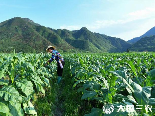 湖南常宁:初夏时节加强农作物管护