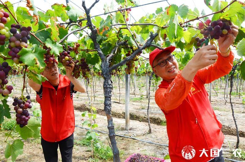 浙江温岭:党员为民办实事 助农采收葡萄忙