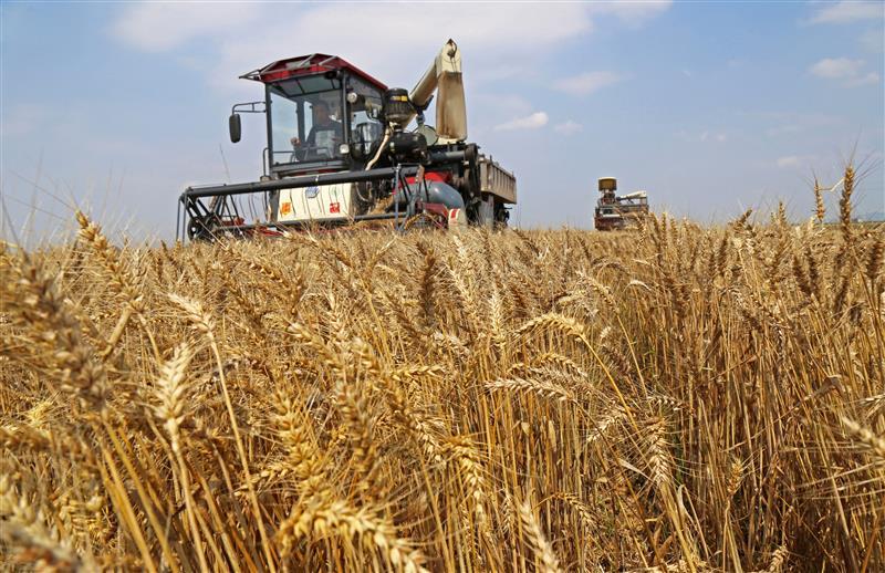 优质小麦收获地步忙