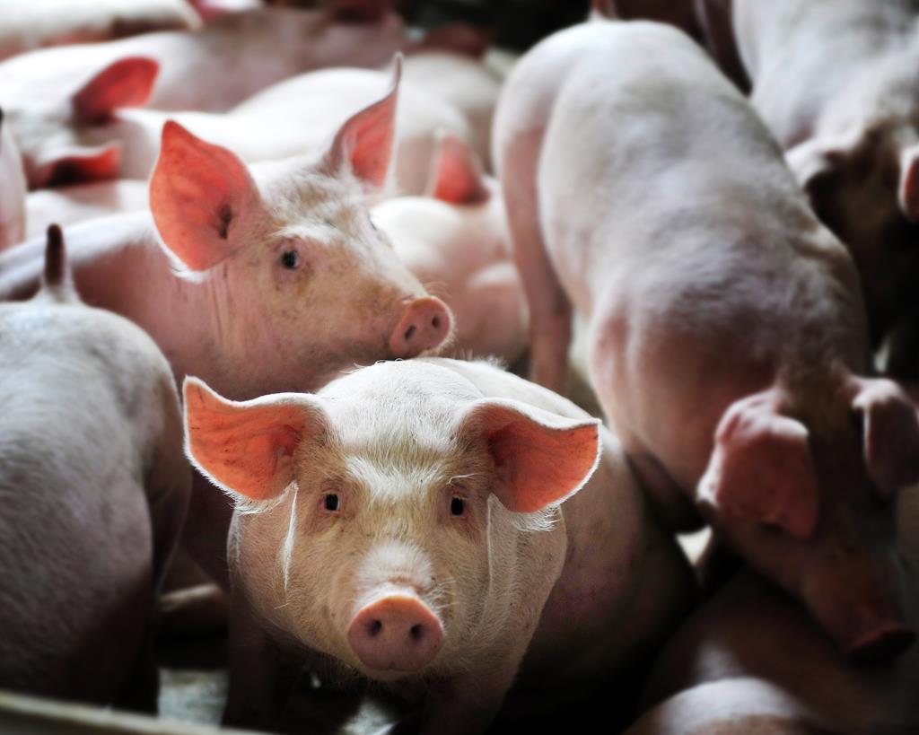 養豬低盈利時代該如何應對
