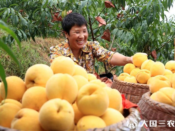 江西永丰:黄桃产业助推乡村振兴