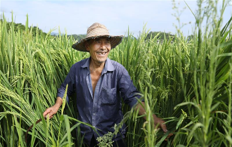 四川大竹:12年杂交水稻制种面积增长60余倍