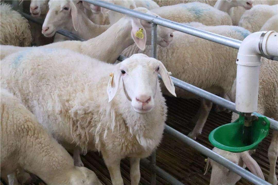 养羊利润收窄,专家建议节本增效