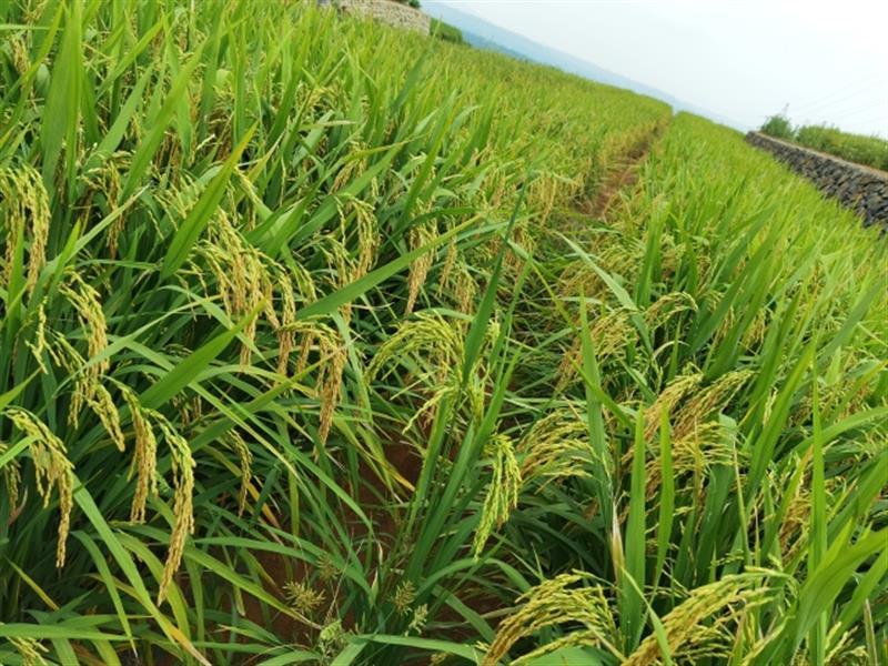 """种小麦一样种的水稻要丰收啦! 杭州种业集团创建""""山地变粮仓""""浙江样板"""