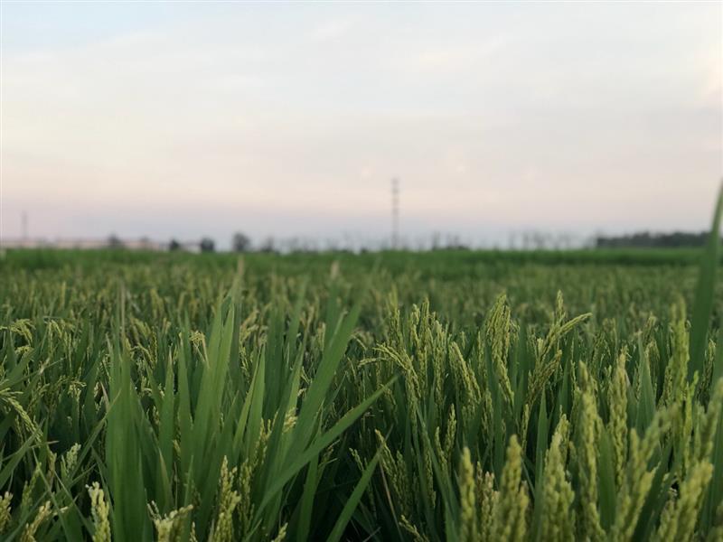 江苏盐城首批数字化种植水稻长势喜人