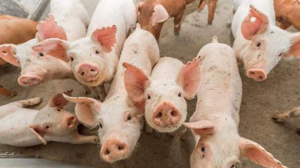 生猪行情仍将低迷 稳政策调控产能应对新一轮周期