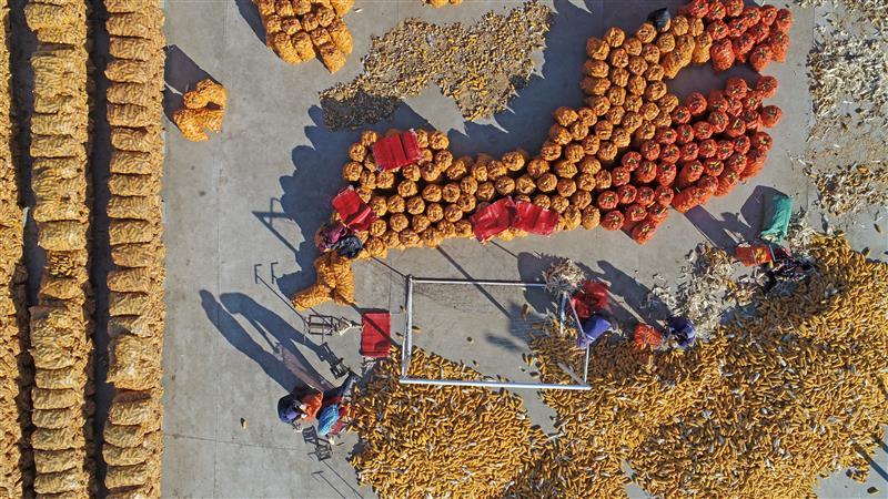 河北滦南县:玉米丰收晒秋粮