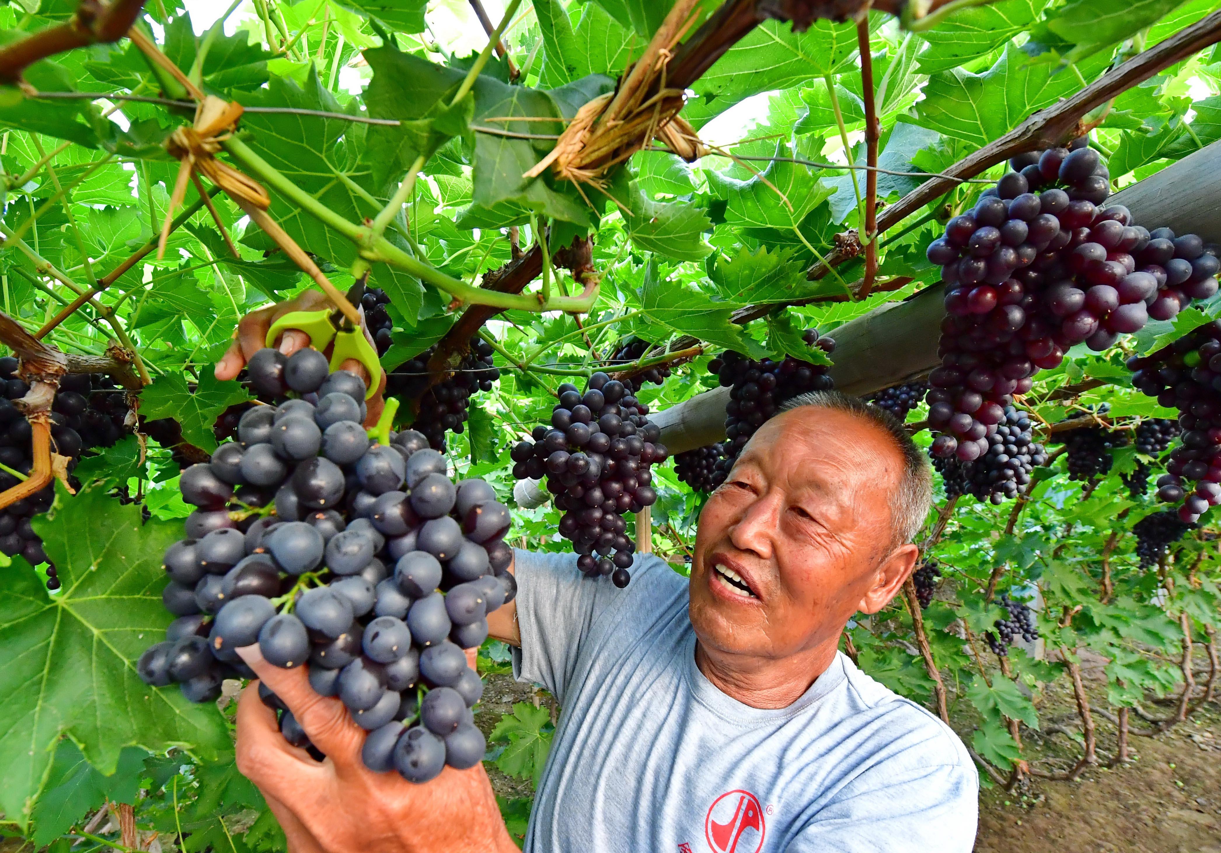 6月25日,唐山海港经济开发区王滩镇赵滩村的果农在采摘葡萄。 近年来,河北唐山海港经济开发区推进生态水果产业和乡村旅游融合发展,助力乡村振兴。据介绍,目前该区葡萄、苹果等水果种植面积达1.5万亩,年产值3亿多元。 新华社记者 杨世尧 摄