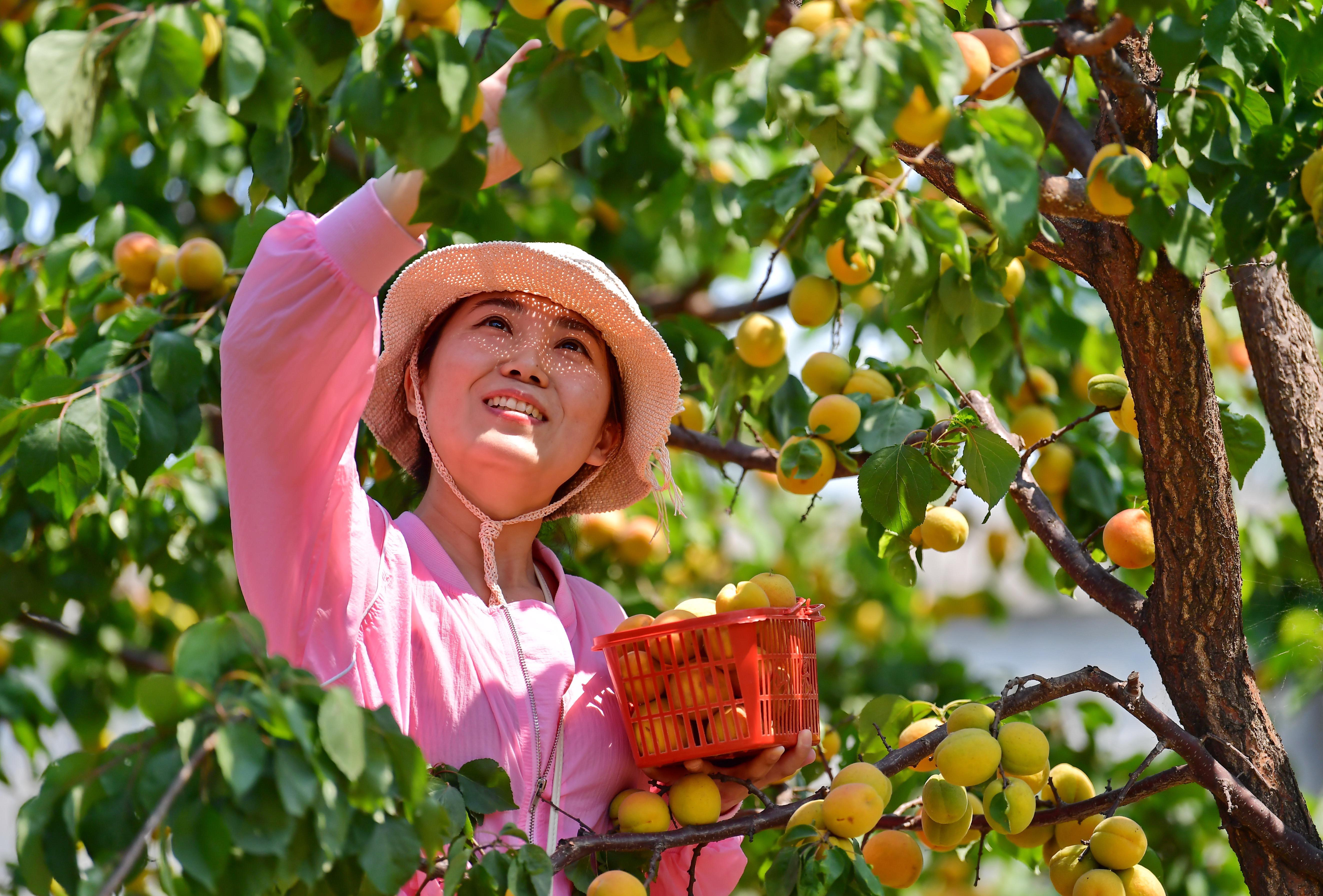 6月25日,游客在唐山海港经济开发区现代农业生态园摘杏。 近年来,河北唐山海港经济开发区推进生态水果产业和乡村旅游融合发展,助力乡村振兴。据介绍,目前该区葡萄、苹果等水果种植面积达1.5万亩,年产值3亿多元。 新华社记者 杨世尧 摄