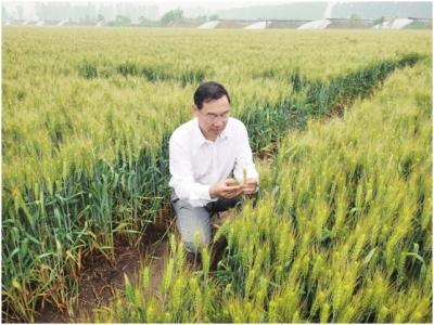 突破!小麦有了杂交品种