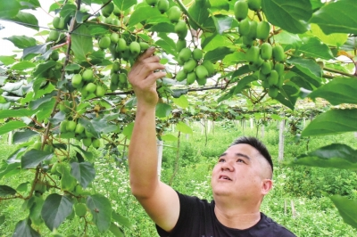 永利娱乐隆回猕猴桃新品种助农增收