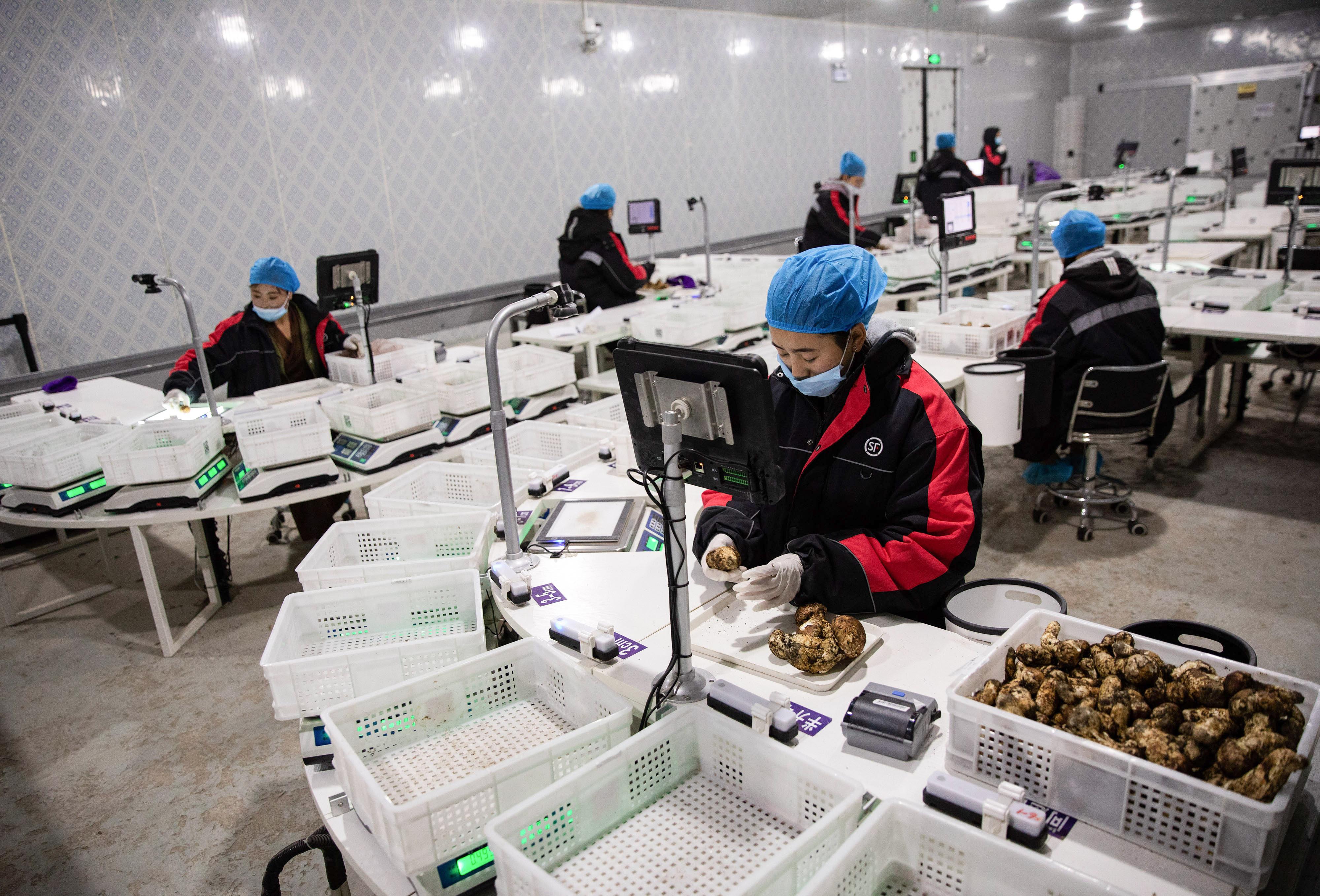 8月4日,在雅江县松茸产业园区顺丰松茸预处理中心,雅江县八角楼乡帕姆岭村的藏族姑娘色佳在分拣松茸。新华社记者 江宏景 摄