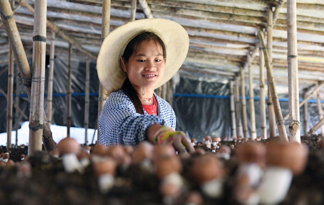姬松茸種植帶動農民脫貧增收