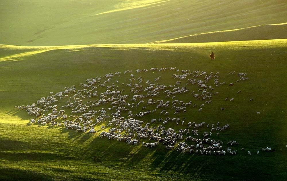 《夕阳下的羊群》赵满达 摄