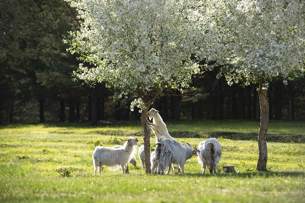 《羊羊开泰》白云翔 摄