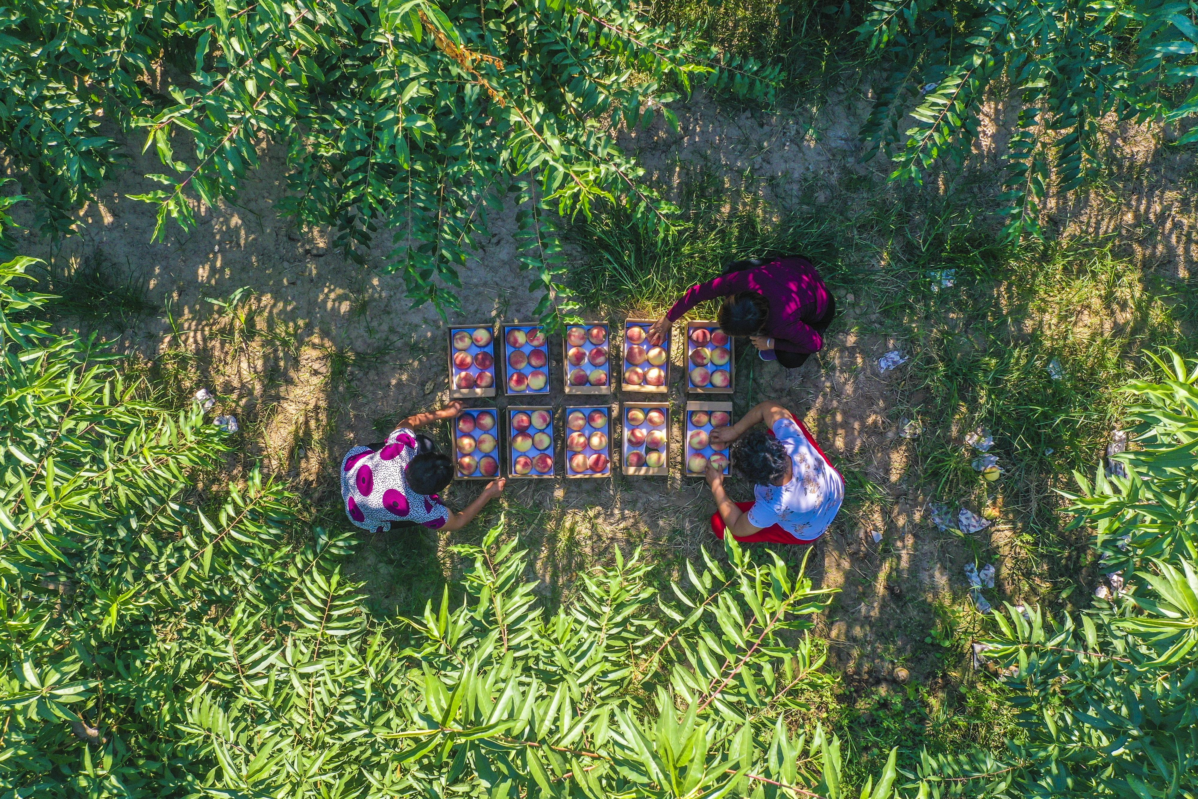 8月30日,在河北省深州市穆村鄉馬莊村御桃莊園蜜桃園,桃農在整理剛采摘的蜜桃(無人機拍攝)。     近日,河北省深州市蜜桃迎來豐收季,吸引大批游客走進生態桃園,享受采摘樂趣。近年來,深州市依托悠久的蜜桃文化和豐富的生態資源,整合美麗鄉村,大力發展全域旅游。目前,深州市被列入河北省首批創建全域旅游示范縣,深州蜜桃觀光園相繼被評為國家2A級旅游景區、河北省農業旅游示范點。     新華社記者 李曉果 攝